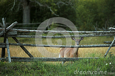 Cautious White-tail Deer Stock Photo - Image: 25947080