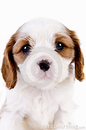 Cavalier King Charles Blenheim puppy