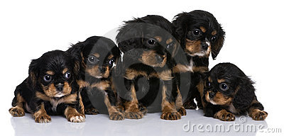 Cavalier King Charles puppies, 7 weeks old