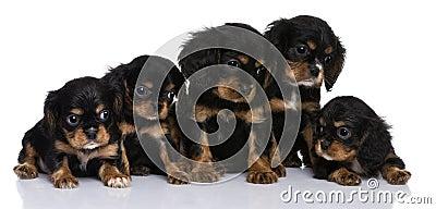 Cavalier King Charles puppies, 7 weeks old