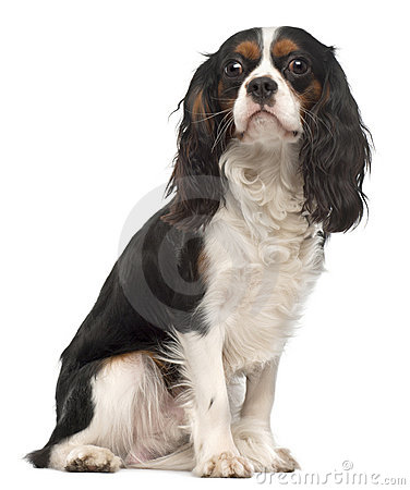 Cavalier King Charles Spaniel, 14 months old