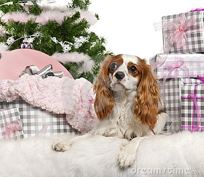 Cavalier King Charles Spaniel, 18 months old