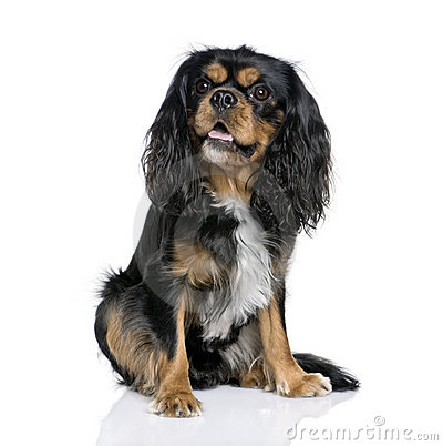 Cavalier King Charles Spaniel, 2 years old.