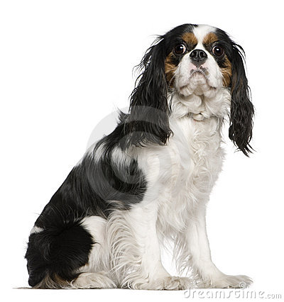 Cavalier King Charles Spaniel, 3 years old,