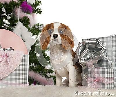 Cavalier King Charles Spaniel puppy, 6 months
