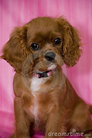 adorable ruby cavalier king charles spaniel puppy wearing a pink