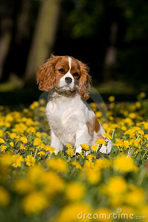 Free Cavalier King Charles Spaniel Puppy Sittin Stock Images - 12337374