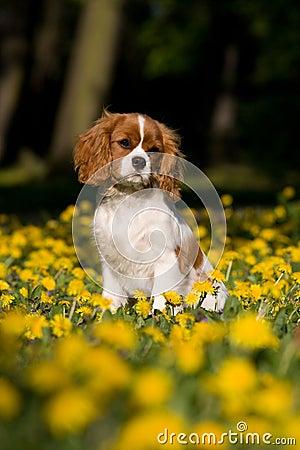 Cavalier King Charles spaniel  puppy sittin
