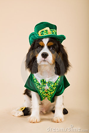 Cavalier puppy wearing leprechaun outfit