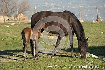 Cavalla e foal