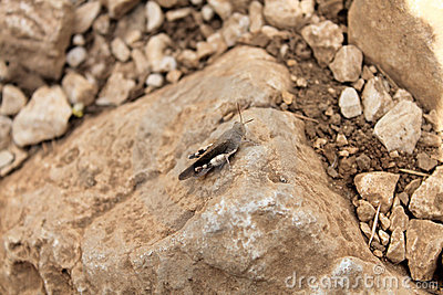 Cavalletta su una roccia