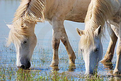Cavalli beventi