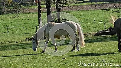 Cavalli che guardano il prato stock footage