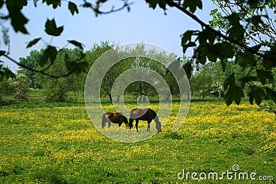 Cavalli che pascono