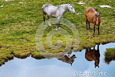 Cavalli in montagne