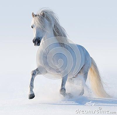 Cavallino di lingua gallese bianco galoppante