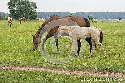 Cavallo con il suo puledro