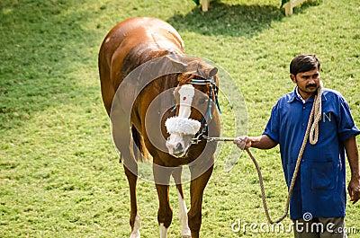 Cavallo da corsa indiano con Bindi Immagine Editoriale