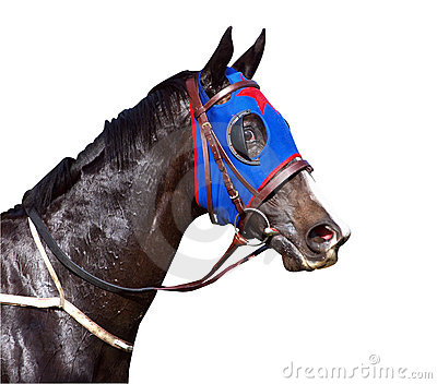 Cavallo da corsa sudato con le narici svasate