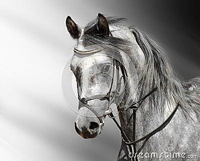 Cavallo Dapple-grigio (arabo)