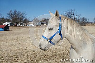 Cavallo dell Arabo dell Oklahoma