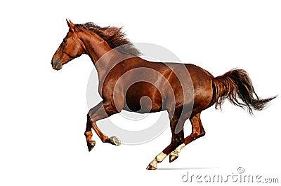 Cavallo di galoppo