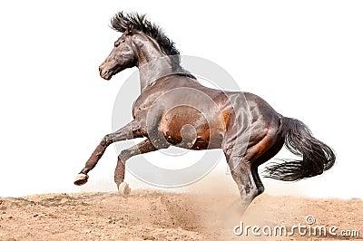 Cavallo galoppante della baia isolato su bianco