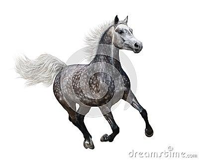 Cavalo árabe dapple-cinzento de galope