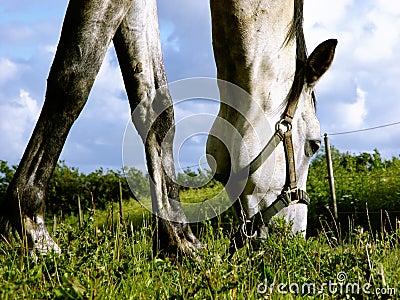 Cavalo branco que consulta