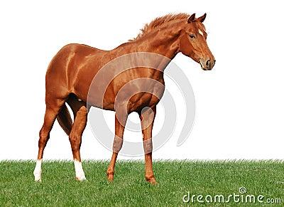Cavalo da castanha na grama isolada no branco