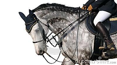 Cavalo Dapple-cinzento