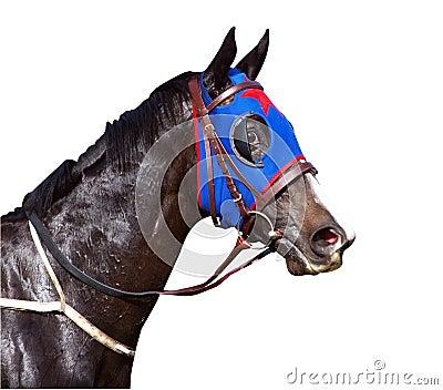 Cavalo de corrida suado com narinas alargadas