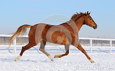 Cavalo de Hanoverian que corre no manege da neve