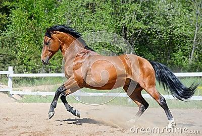 Cavalo de louro da raça ucraniana da equitação no movimento