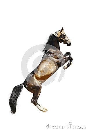Cavalo do ackal-teke do puro-sangue isolado