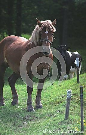 Cavalo e uma vaca em um prado