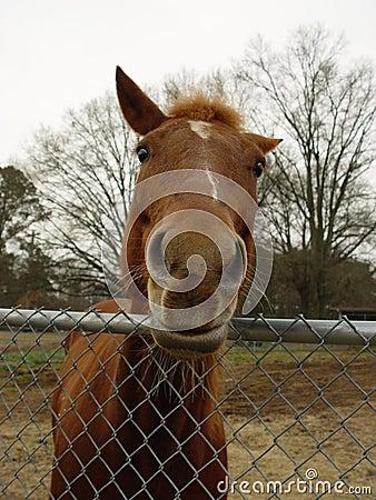 Cavalo Nosey