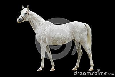 Cavalo árabe branco isolado