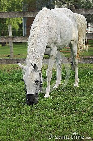 Cavalo árabe com pastagem do açaime