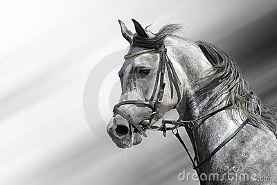 Cavalo árabe Dapple-cinzento
