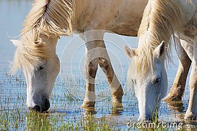 Cavalos bebendo