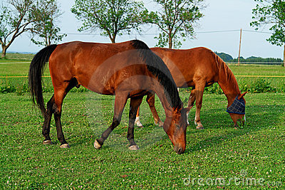 Cavalos de Brown