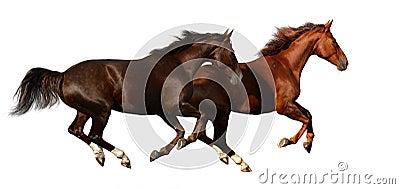Cavalos do galope