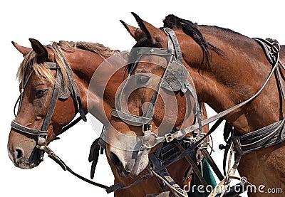 Cavalos um fundo branco
