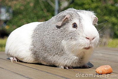 Cavia with carrot
