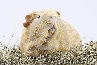 Cavy, guinea pig in hay