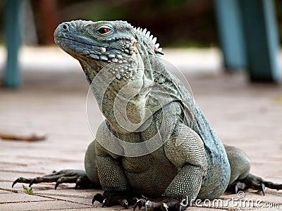 A Cayman Islands Blue Iguana