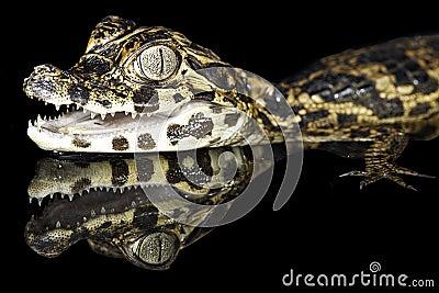 Cayman tropical rain forest amazon alligator gator