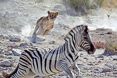 Cebra femenina de la caza del león