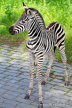 Cebra recién nacida del bebé